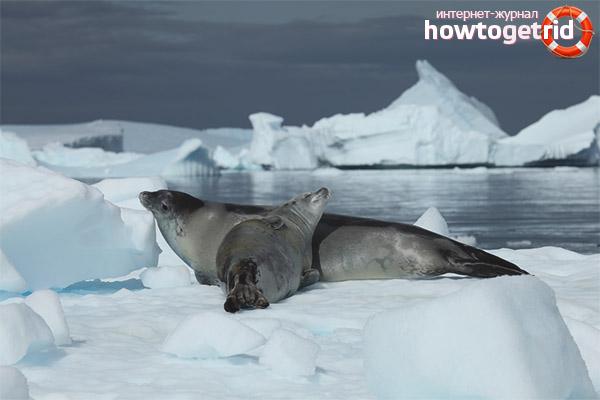 Образ жизни тюленей-крабоедов