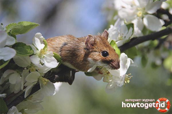 Образ жизни желтогорлой мыши