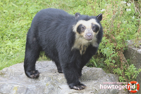 Очковый медведь