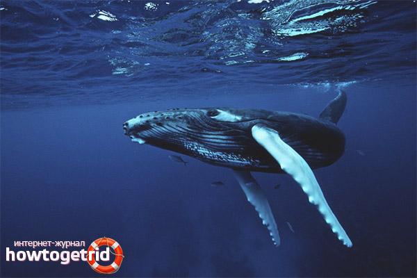 Окрас горбатого кита