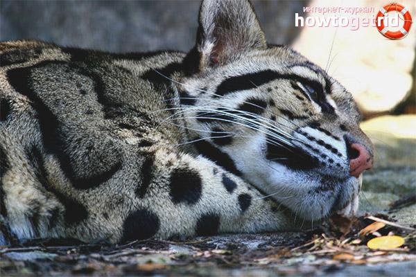 Питание дымчатого леопарда