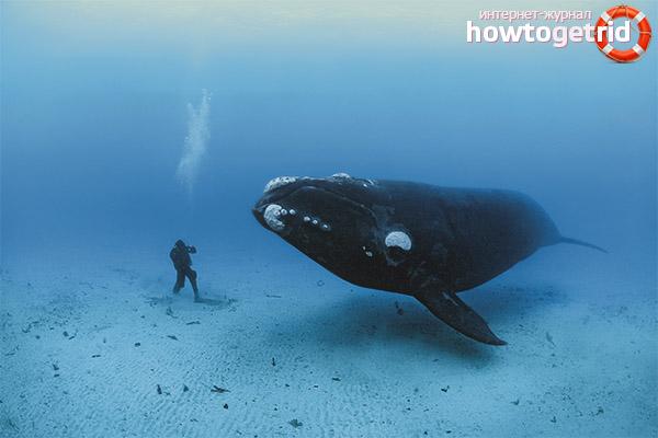 Питание гренландских китов
