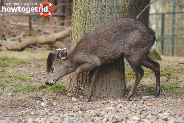 Питание хохлатого оленя