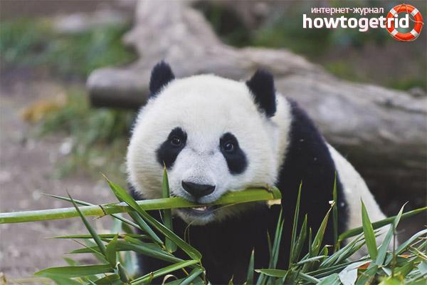 Питание и образ жизни большой панды
