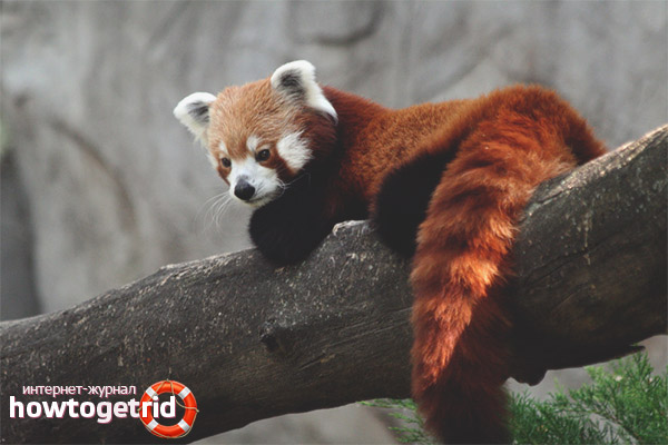 Продолжительность жизни малой панды