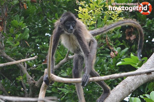 Продолжительность жизни паукообразной обезьяны