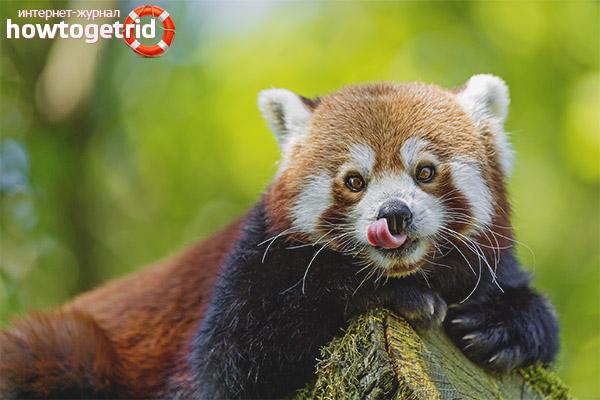 Рацион малой панды