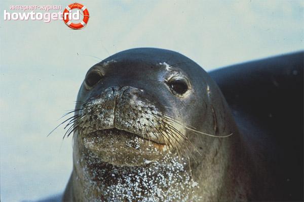 Распространение тюленей-монаха