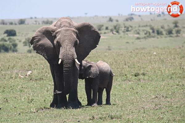 Размножение африканского слона