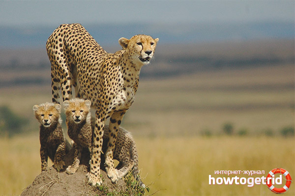 Размножение гепардов