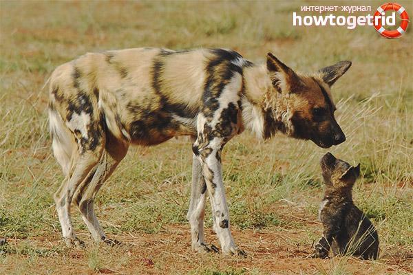 Размножение гиеновидной собаки