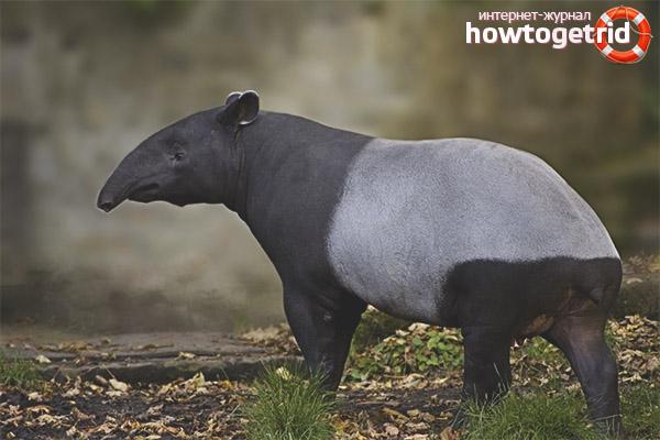 Размножение и развитие тапиров