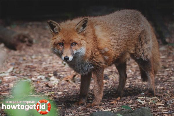 Размножение лисицы