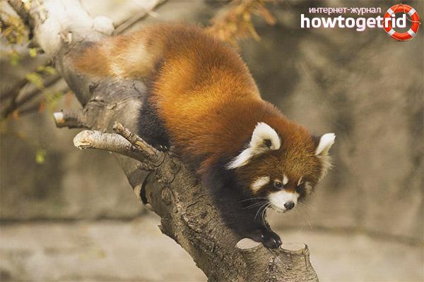 Размножение малой панды