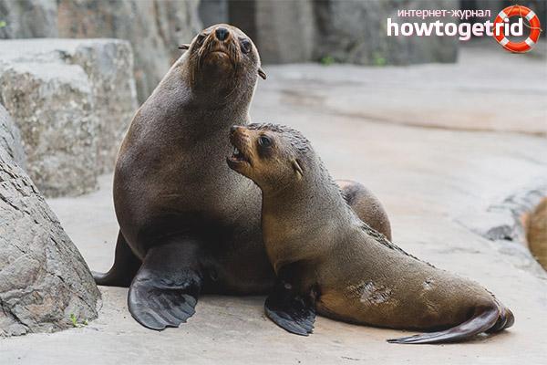 Размножение морских котиков