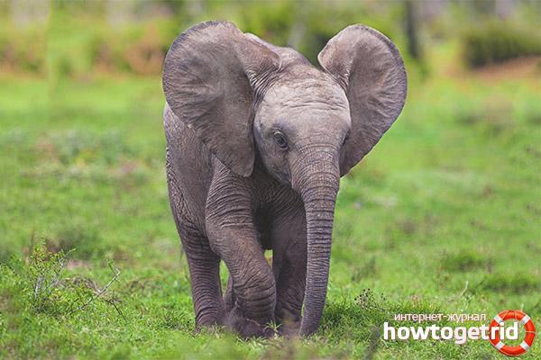 Размножение слонов