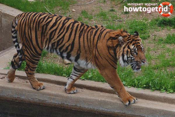 Размножение суматранского тигра