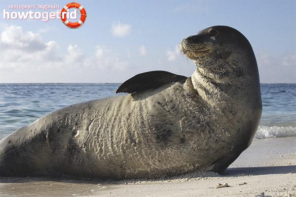 Размножение тюленей-монаха