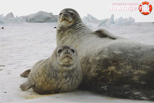 Размножение тюленей Уэдделла