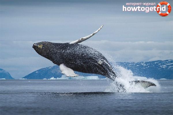 Сколько живут гренландские киты
