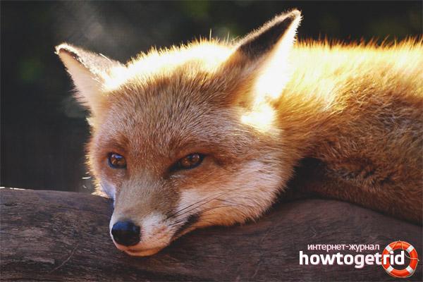 Содержание лисицы дома