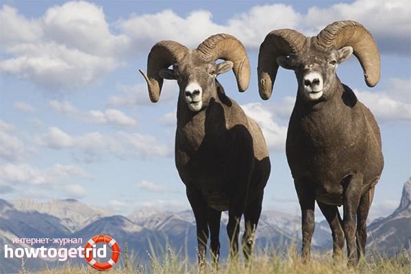 Среда обитания алтайских горных баранов