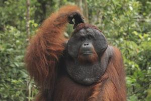 Суматранский орангутан