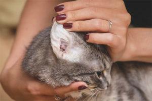 У кота грязные уши внутри