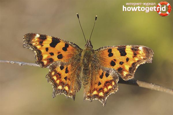 Бабочка углокрыльница