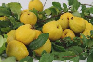 Как использовать плоды японской айвы