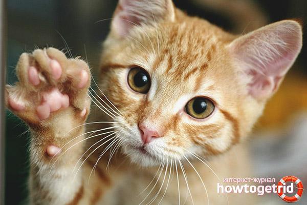 Как научить кота или кошку давать лапу
