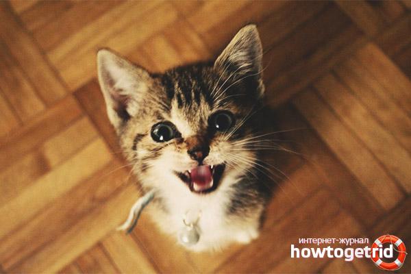 Котенок мяукает когда ходит в туалет