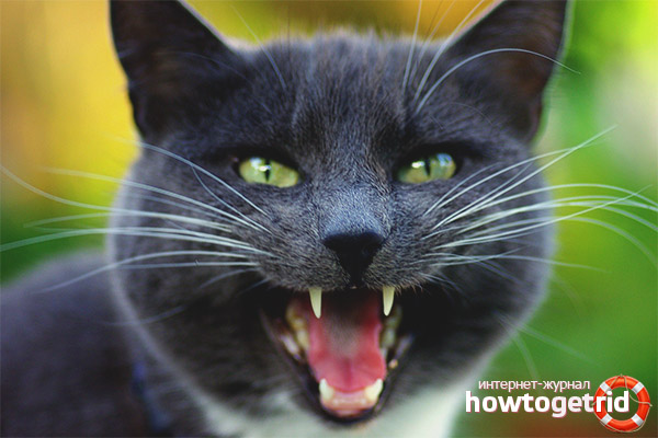 Методы, помогающие отучить кошку мяукать
