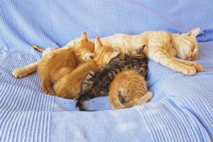 Может ли кормящая кошка забеременеть