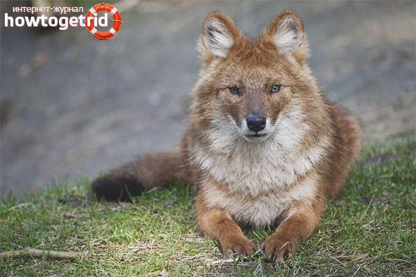 Обитание красных волков