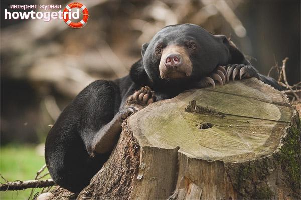 Обитание малайского медведя