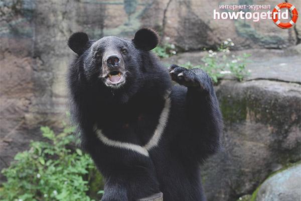 Образ жизни гималайского медведя