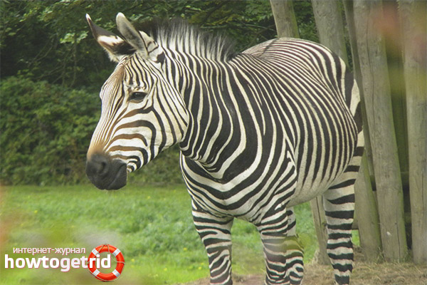 Особенности питания горной зебры