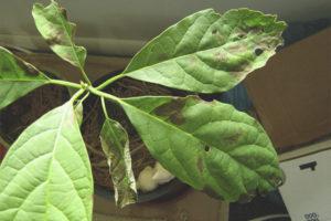 Почему у авокадо чернеют и сохнут листья