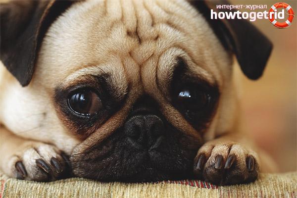 Повышенная слезоточивость глаз у щенят