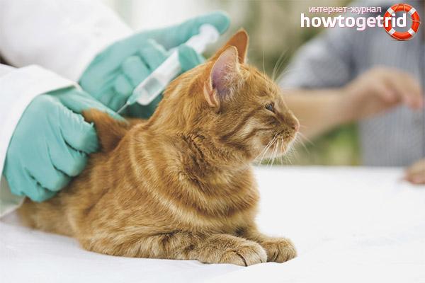 Профилактика бешенства у кошек