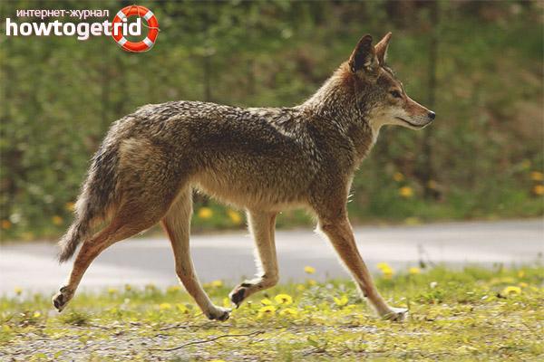 Размножение койотов