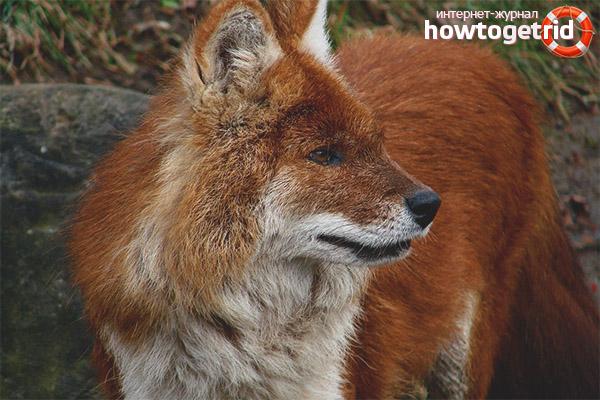 Размножение красных волков