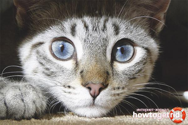Тревожные симптомы расширенных зрачков у кошки