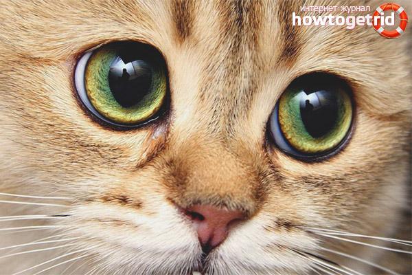 У кошки расширенные зрачки