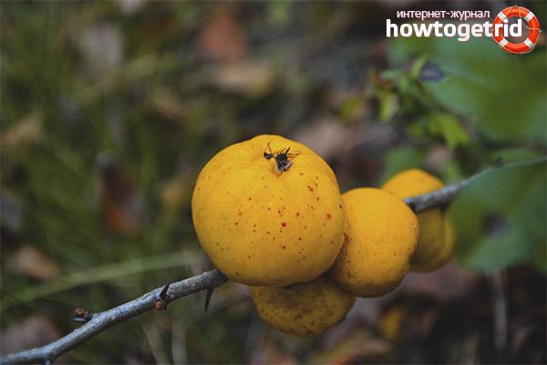 Вызревание плодов айвы