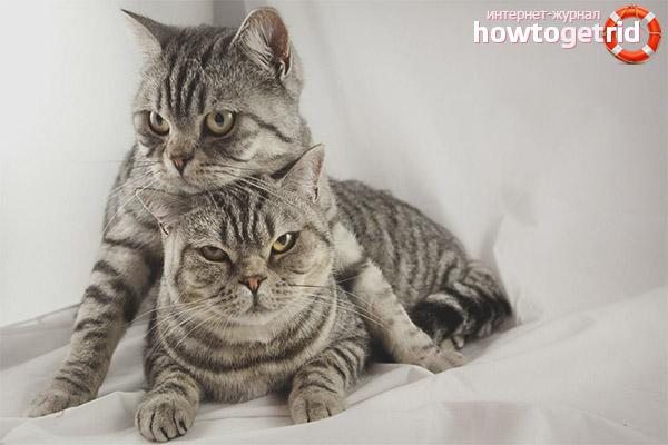 Как сводить кошку с котом первый раз