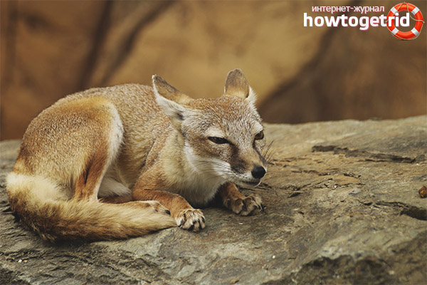 Питание степной лисицы