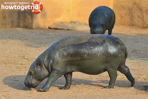 Среда обитания и образ жизни карликового бегемота