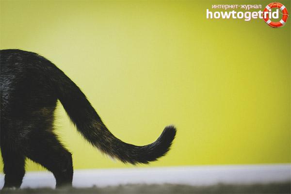У кошки лысеет хвост